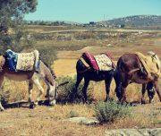Sebastia-Donkey-Tours-Palestine_(16)