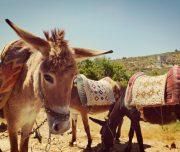 Sebastia-Donkey-Tours-Palestine_(2)
