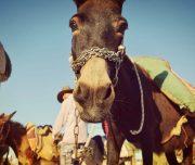 Sebastia-Donkey-Tours-Palestine_(6)