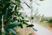 olive-harvest-palestine